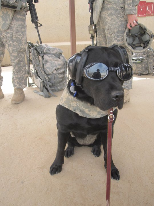 COSC dog in Afghanistan.