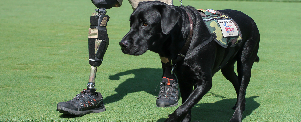 A service dog provides balance for a veteran with disabilities.