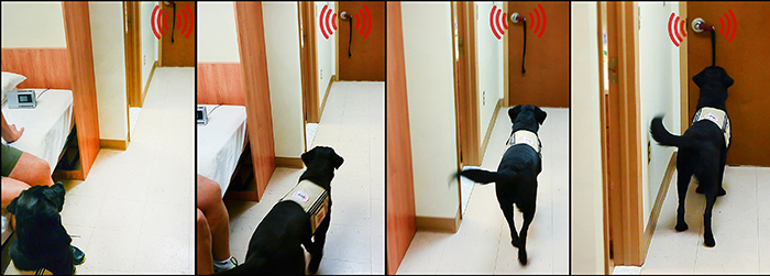 Dog alerting to someone knocking at the door.